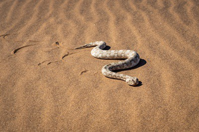 Sidewinder rattlesnakes
