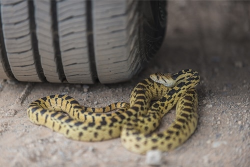 can a snake crawl up into your car?