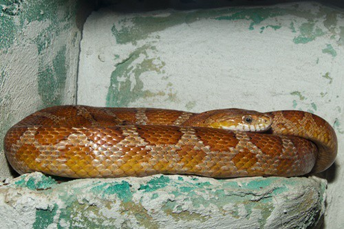 gastrointestinal disease in corn snakes
