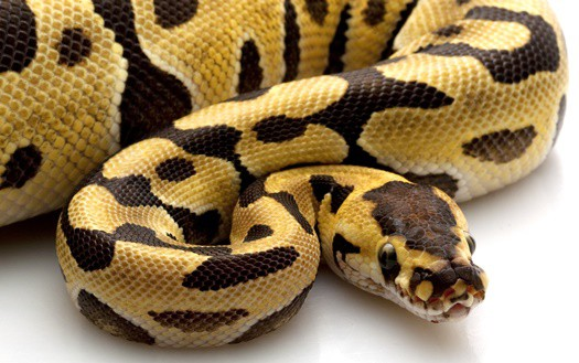 how long are ball pythons pregnant?