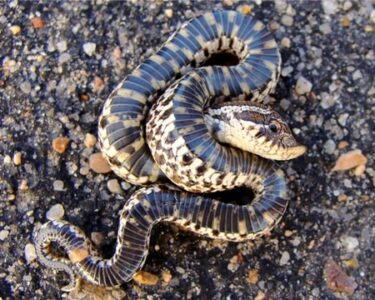 snakes that play possum