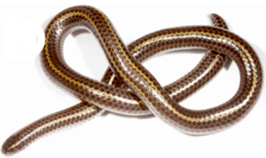17 Small Pet Snakes That Stay Small