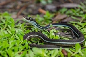 Ribbon snakes
