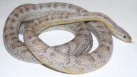 Anery-Stripe