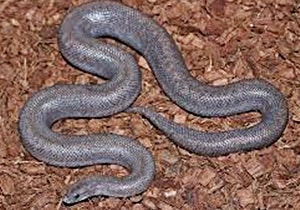 Anerythristic Rosy Boa