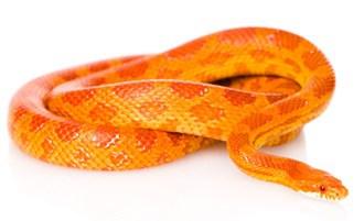 Creamsicle Corn Snake