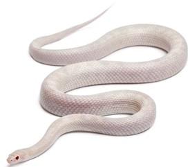 Opale corn snake