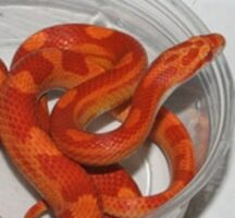 Sunglow-Corn-Snake