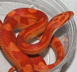 Sunglow Corn Snake