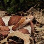 copperhead snake characteristics