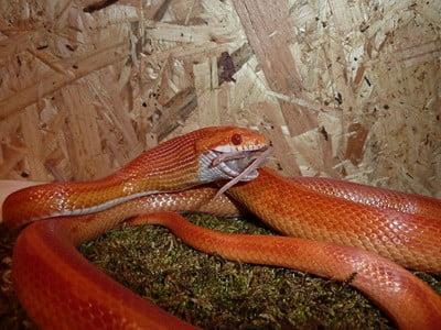 corn snake meal size