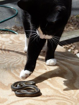do snakes and cats get along?
