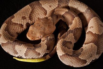 how-to-tell-if-its-a-copperhead-snake
