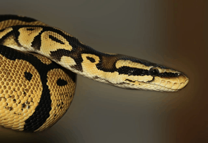 Are pythons and boa constrictors the same?
