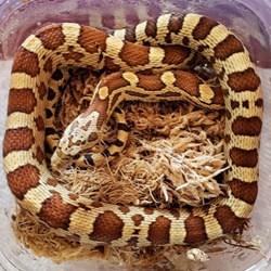 Gopher corn snake