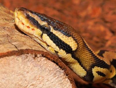 ball python sickness symptoms