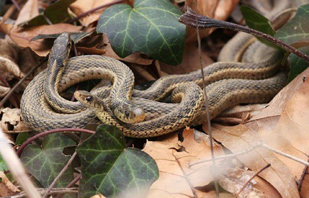 can garter snakes live together?