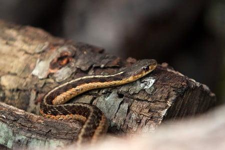 do snakes brumate together?