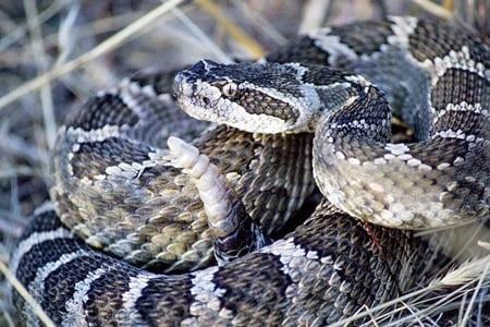 do venomous snakes dry bite?