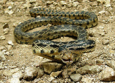 gopher snake interesting facts