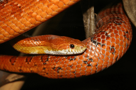 how easy are corn snakes to look after?