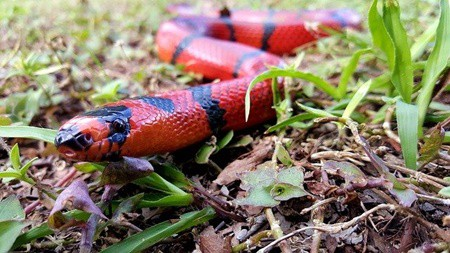 milk snake vs kingsnake