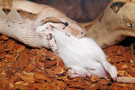 mouse stuck in snakes mouth