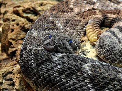 what happens if you defang a rattlesnake?
