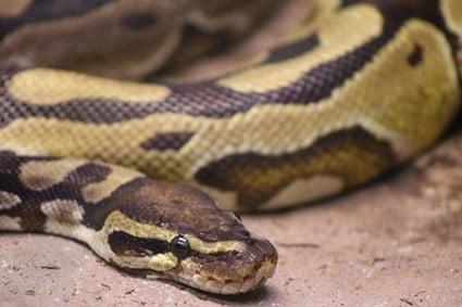Rarest Ball Python Morph