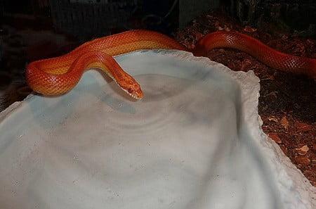 corn snake soaking in water