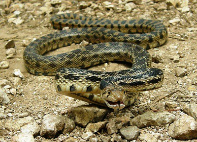 gopher snakes breeding with rattlesnakes