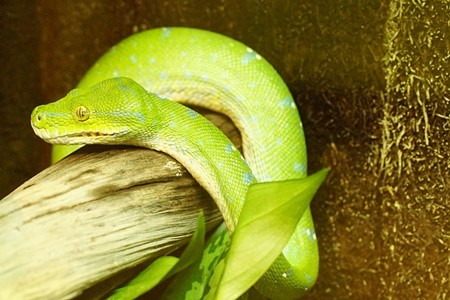 green tree python morphs list