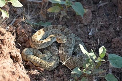 how far do rattlesnakes roam?