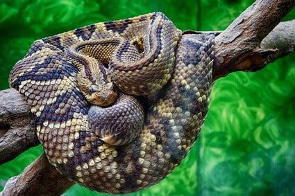 do rattlesnakes climb trees?