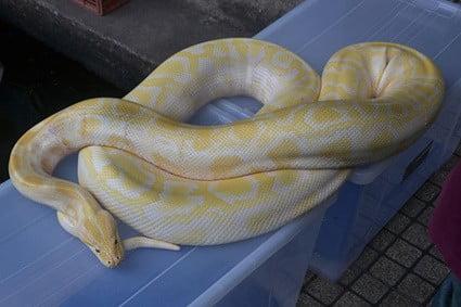 vegetarian-pet-snakes