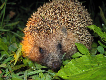 are hedgehogs immune to snake venom?