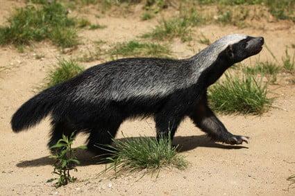 are honey badgers immune to snake poison?