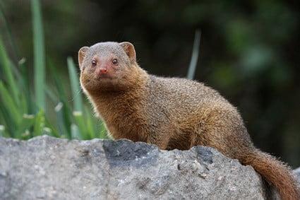 are mongoose immune to snake venom?