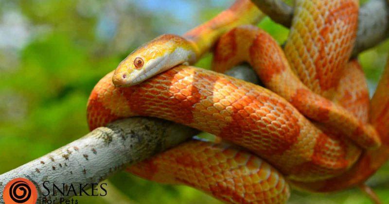 Corn snake on a tree branch